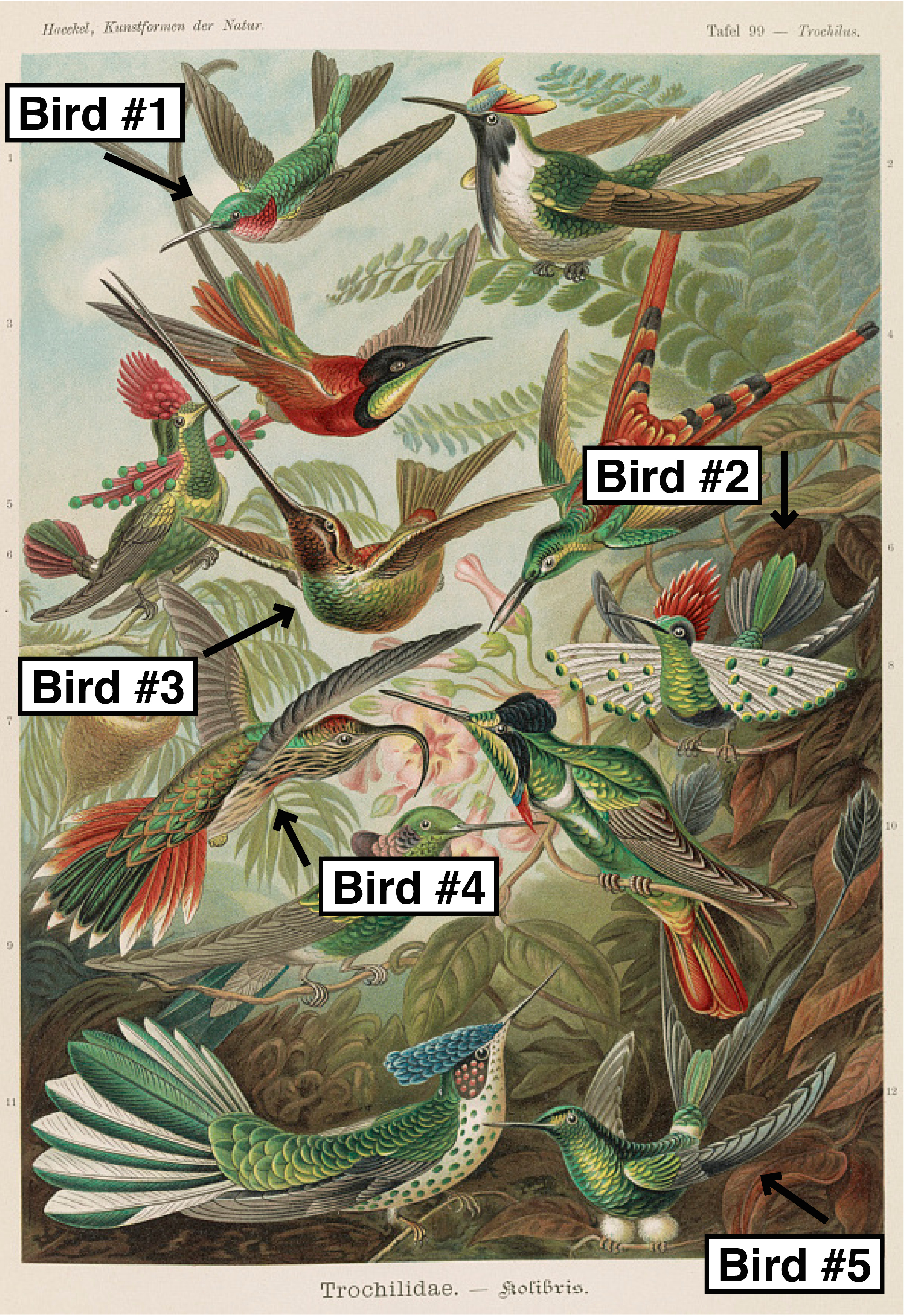 Trochilidae illustration with labels